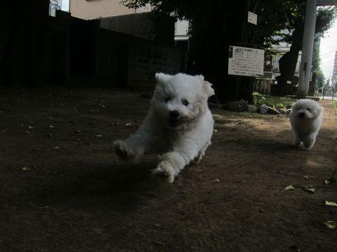 ビションフリーゼこいぬ子犬フントヒュッテ東京かわいいビションフリーゼ関東ビション文京区ビションフリーゼ画像ビションフリーゼおんなのこ姉妹メス子犬_453.jpg