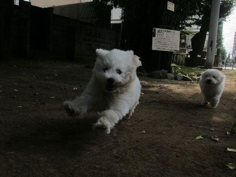 ビションフリーゼこいぬ子犬フントヒュッテ東京かわいいビションフリーゼ関東ビション文京区ビションフリーゼ画像ビションフリーゼおんなのこ姉妹メス子犬_454.jpg