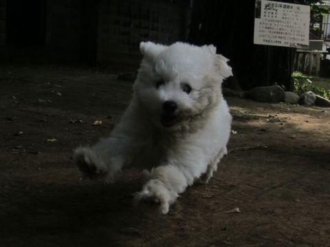 ビションフリーゼこいぬ子犬フントヒュッテ東京かわいいビションフリーゼ関東ビション文京区ビションフリーゼ画像ビションフリーゼおんなのこ姉妹メス子犬_455.jpg