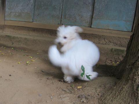 ビションフリーゼこいぬ子犬フントヒュッテ東京かわいいビションフリーゼ関東ビション文京区ビションフリーゼ画像ビションフリーゼおんなのこ姉妹メス子犬_458.jpg