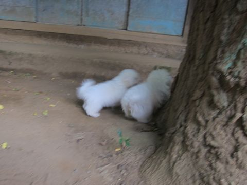 ビションフリーゼこいぬ子犬フントヒュッテ東京かわいいビションフリーゼ関東ビション文京区ビションフリーゼ画像ビションフリーゼおんなのこ姉妹メス子犬_459.jpg