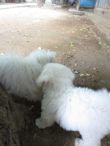 ビションフリーゼこいぬ子犬フントヒュッテ東京かわいいビションフリーゼ関東ビション文京区ビションフリーゼ画像ビションフリーゼおんなのこ姉妹メス子犬_460.jpg
