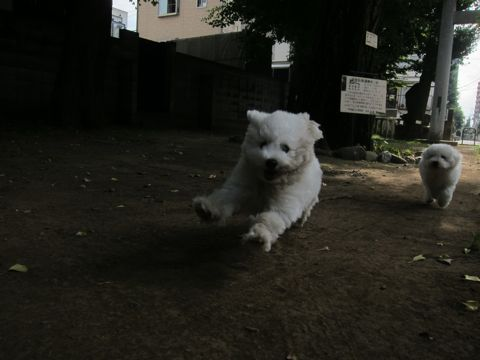 ビションフリーゼこいぬ子犬フントヒュッテ東京かわいいビションフリーゼ関東ビション文京区ビションフリーゼ画像ビションフリーゼ子犬東京ビション毛量 140.jpg