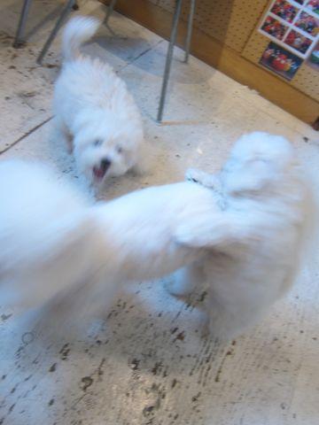 ビションフリーゼこいぬ子犬フントヒュッテ東京かわいいビションフリーゼ関東ビション文京区ビションフリーゼ画像ビションフリーゼおんなのこ姉妹メス子犬_461.jpg