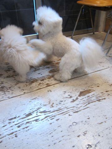 ビションフリーゼこいぬ子犬フントヒュッテ東京かわいいビションフリーゼ関東ビション文京区ビションフリーゼ画像ビションフリーゼおんなのこ姉妹メス子犬_463.jpg