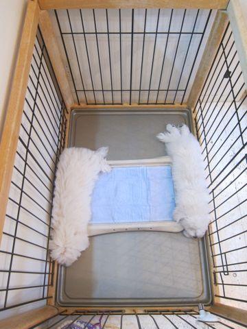 ビションフリーゼこいぬ子犬フントヒュッテ東京かわいいビションフリーゼ関東ビション文京区ビションフリーゼ画像ビションフリーゼおんなのこ姉妹メス子犬_464.jpg