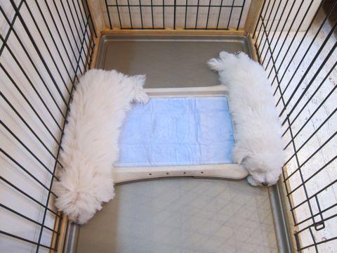 ビションフリーゼこいぬ子犬フントヒュッテ東京かわいいビションフリーゼ関東ビション文京区ビションフリーゼ画像ビションフリーゼおんなのこ姉妹メス子犬_465.jpg