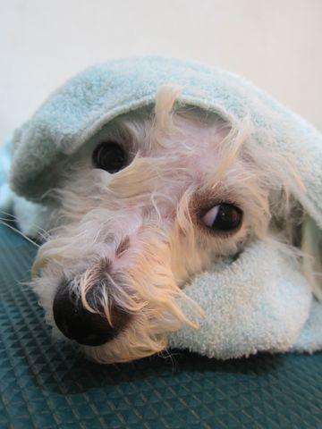 ビションフリーゼこいぬ子犬フントヒュッテ東京かわいいビションフリーゼ関東ビション文京区ビションフリーゼ画像ビションフリーゼおんなのこ姉妹メス子犬_487.jpg