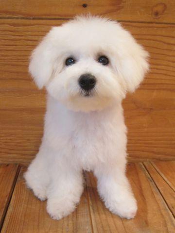 ビションフリーゼこいぬ子犬フントヒュッテ東京かわいいビションフリーゼ関東ビション文京区ビションフリーゼ画像ビションフリーゼおんなのこ姉妹メス子犬_490.jpg