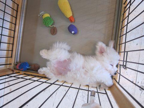 ビションフリーゼこいぬ子犬フントヒュッテ東京かわいいビションフリーゼ関東ビション文京区ビションフリーゼ画像ビションフリーゼ子犬東京ビション毛量 169.jpg