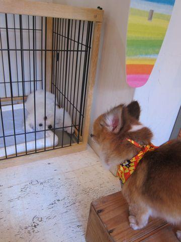 ビションフリーゼこいぬ子犬フントヒュッテ東京かわいいビションフリーゼ関東ビション文京区ビションフリーゼ画像ビションフリーゼおんなのこ姉妹メス子犬_494.jpg