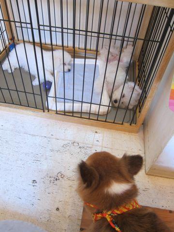 ビションフリーゼこいぬ子犬フントヒュッテ東京かわいいビションフリーゼ関東ビション文京区ビションフリーゼ画像ビションフリーゼおんなのこ姉妹メス子犬_496.jpg