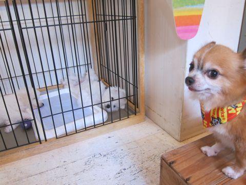 ビションフリーゼこいぬ子犬フントヒュッテ東京かわいいビションフリーゼ関東ビション文京区ビションフリーゼ画像ビションフリーゼおんなのこ姉妹メス子犬_498.jpg