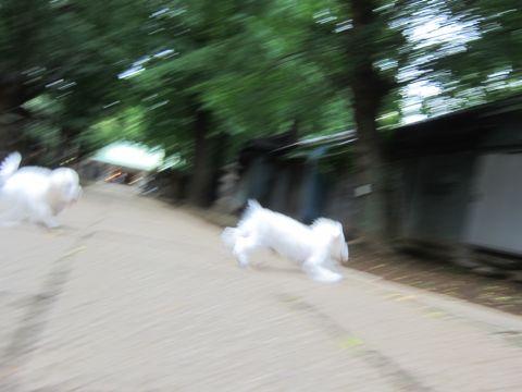 ビションフリーゼこいぬ子犬フントヒュッテ東京かわいいビションフリーゼ関東ビション文京区ビションフリーゼ画像ビションフリーゼおんなのこ姉妹メス子犬_502.jpg