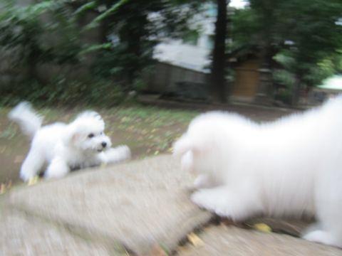 ビションフリーゼこいぬ子犬フントヒュッテ東京かわいいビションフリーゼ関東ビション文京区ビションフリーゼ画像ビションフリーゼおんなのこ姉妹メス子犬_503.jpg