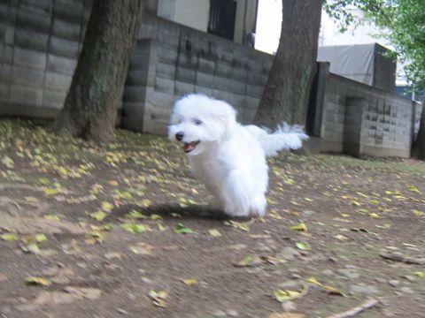 ビションフリーゼこいぬ子犬フントヒュッテ東京かわいいビションフリーゼ関東ビション文京区ビションフリーゼ画像ビションフリーゼおんなのこ姉妹メス子犬_504.jpg