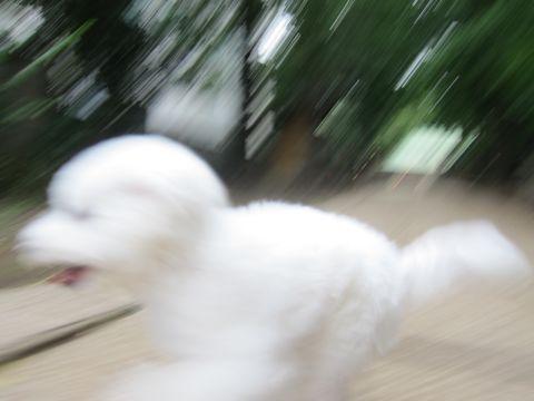 ビションフリーゼこいぬ子犬フントヒュッテ東京かわいいビションフリーゼ関東ビション文京区ビションフリーゼ画像ビションフリーゼおんなのこ姉妹メス子犬_507.jpg