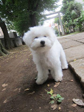 ビションフリーゼこいぬ子犬フントヒュッテ東京かわいいビションフリーゼ関東ビション文京区ビションフリーゼ画像ビションフリーゼおんなのこ姉妹メス子犬_510.jpg