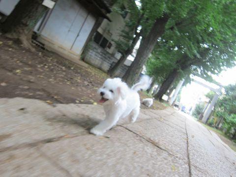 ビションフリーゼこいぬ子犬フントヒュッテ東京かわいいビションフリーゼ関東ビション文京区ビションフリーゼ画像ビションフリーゼおんなのこ姉妹メス子犬_511.jpg