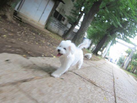 ビションフリーゼこいぬ子犬フントヒュッテ東京かわいいビションフリーゼ関東ビション文京区ビションフリーゼ画像ビションフリーゼおんなのこ姉妹メス子犬_512.jpg