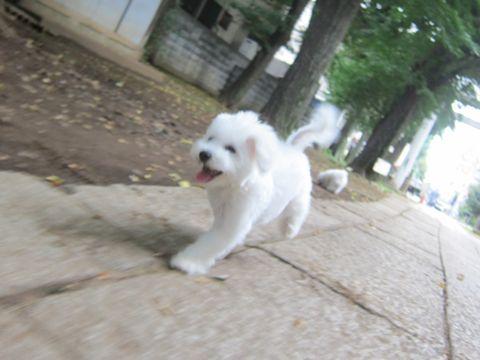 ビションフリーゼこいぬ子犬フントヒュッテ東京かわいいビションフリーゼ関東ビション文京区ビションフリーゼ画像ビションフリーゼおんなのこ姉妹メス子犬_513.jpg