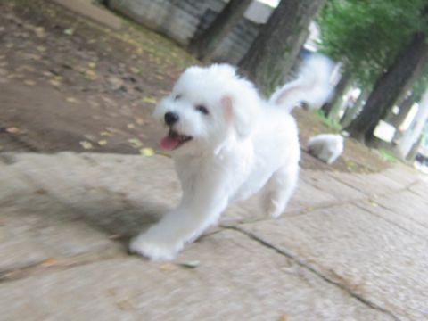 ビションフリーゼこいぬ子犬フントヒュッテ東京かわいいビションフリーゼ関東ビション文京区ビションフリーゼ画像ビションフリーゼおんなのこ姉妹メス子犬_514.jpg