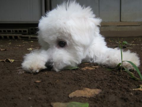 ビションフリーゼこいぬ子犬フントヒュッテ東京かわいいビションフリーゼ関東ビション文京区ビションフリーゼ画像ビションフリーゼおんなのこ姉妹メス子犬_516.jpg