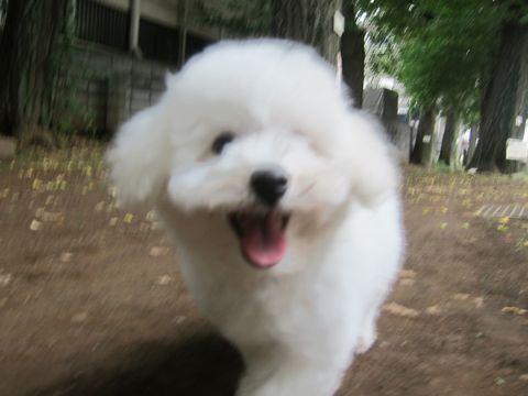 ビションフリーゼこいぬ子犬フントヒュッテ東京かわいいビションフリーゼ関東ビション文京区ビションフリーゼ画像ビションフリーゼ子犬東京ビション毛量 180.jpg