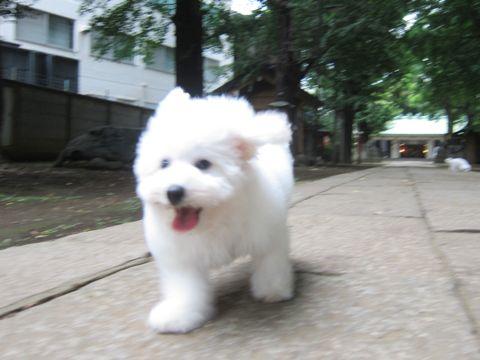 ビションフリーゼこいぬ子犬フントヒュッテ東京かわいいビションフリーゼ関東ビション文京区ビションフリーゼ画像ビションフリーゼ子犬東京ビション毛量 184.jpg