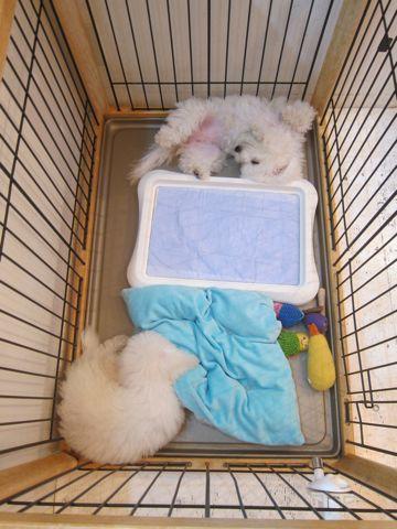 ビションフリーゼこいぬ子犬フントヒュッテ東京かわいいビションフリーゼ関東ビション文京区ビションフリーゼ画像ビションフリーゼおんなのこ姉妹メス子犬_519.jpg