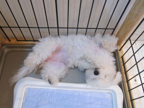 ビションフリーゼこいぬ子犬フントヒュッテ東京かわいいビションフリーゼ関東ビション文京区ビションフリーゼ画像ビションフリーゼおんなのこ姉妹メス子犬_520.jpg