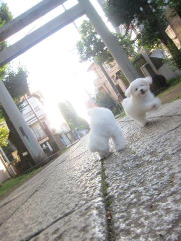 ビションフリーゼこいぬ子犬フントヒュッテ東京かわいいビションフリーゼ関東ビション文京区ビションフリーゼ画像ビションフリーゼ子犬東京ビション毛量 188.jpg