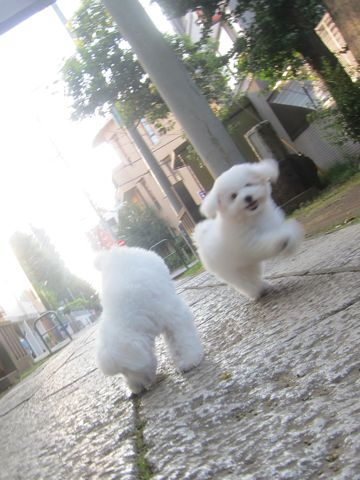 ビションフリーゼこいぬ子犬フントヒュッテ東京かわいいビションフリーゼ関東ビション文京区ビションフリーゼ画像ビションフリーゼ子犬東京ビション毛量 190.jpg