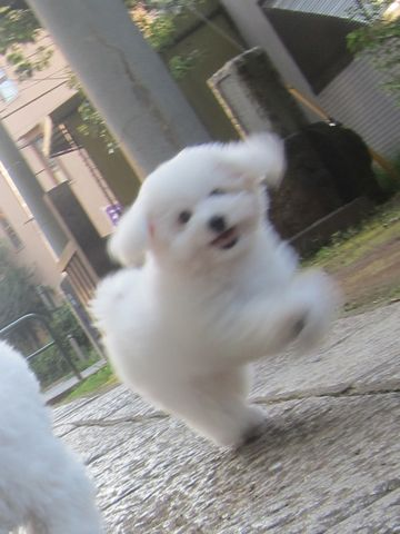 ビションフリーゼこいぬ子犬フントヒュッテ東京かわいいビションフリーゼ関東ビション文京区ビションフリーゼ画像ビションフリーゼ子犬東京ビション毛量 191.jpg
