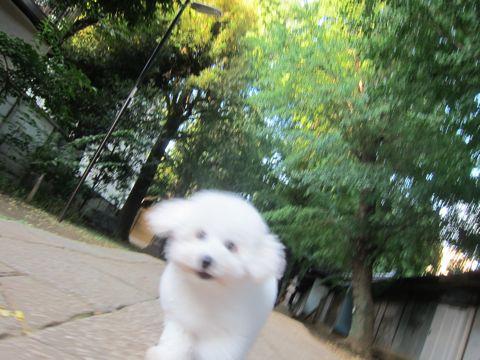 ビションフリーゼこいぬ子犬フントヒュッテ東京かわいいビションフリーゼ関東ビション文京区ビションフリーゼ画像ビションフリーゼ子犬東京ビション毛量 198.jpg
