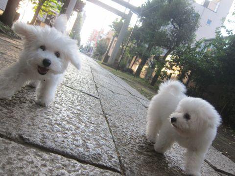 ビションフリーゼこいぬ子犬フントヒュッテ東京かわいいビションフリーゼ関東ビション文京区ビションフリーゼ画像ビションフリーゼおんなのこ姉妹メス子犬_525.jpg