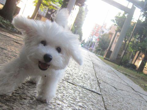 ビションフリーゼこいぬ子犬フントヒュッテ東京かわいいビションフリーゼ関東ビション文京区ビションフリーゼ画像ビションフリーゼおんなのこ姉妹メス子犬_526.jpg