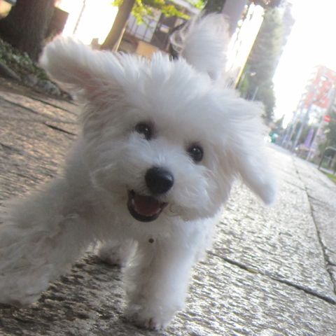 ビションフリーゼこいぬ子犬フントヒュッテ東京かわいいビションフリーゼ関東ビション文京区ビションフリーゼ画像ビションフリーゼおんなのこ姉妹メス子犬_527.jpg
