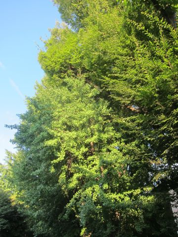 ビションフリーゼこいぬ子犬フントヒュッテ東京かわいいビションフリーゼ関東ビション文京区ビションフリーゼ画像ビションフリーゼおんなのこ姉妹メス子犬_528.jpg