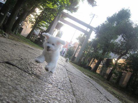 ビションフリーゼこいぬ子犬フントヒュッテ東京かわいいビションフリーゼ関東ビション文京区ビションフリーゼ画像ビションフリーゼおんなのこ姉妹メス子犬_530.jpg