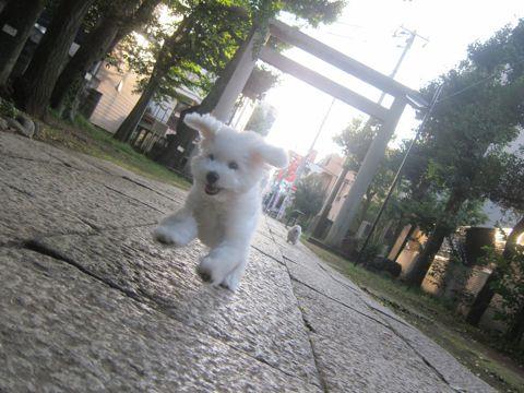 ビションフリーゼこいぬ子犬フントヒュッテ東京かわいいビションフリーゼ関東ビション文京区ビションフリーゼ画像ビションフリーゼおんなのこ姉妹メス子犬_531.jpg