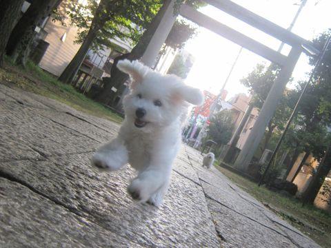 ビションフリーゼこいぬ子犬フントヒュッテ東京かわいいビションフリーゼ関東ビション文京区ビションフリーゼ画像ビションフリーゼおんなのこ姉妹メス子犬_532.jpg