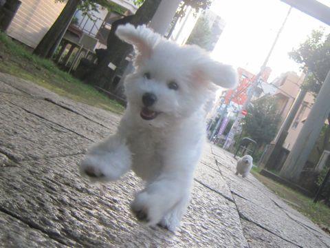ビションフリーゼこいぬ子犬フントヒュッテ東京かわいいビションフリーゼ関東ビション文京区ビションフリーゼ画像ビションフリーゼおんなのこ姉妹メス子犬_533.jpg