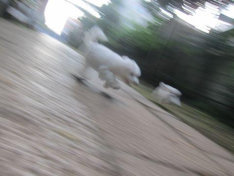 ビションフリーゼこいぬ子犬フントヒュッテ東京かわいいビションフリーゼ関東ビション文京区ビションフリーゼ画像ビションフリーゼおんなのこ姉妹メス子犬_534.jpg