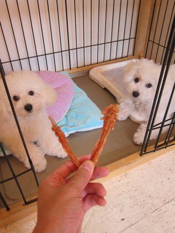 ビションフリーゼこいぬ子犬フントヒュッテ東京かわいいビションフリーゼ関東ビション文京区ビションフリーゼ画像ビションフリーゼおんなのこ姉妹メス子犬_536.jpg