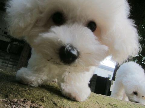 ビションフリーゼこいぬ子犬フントヒュッテ東京かわいいビションフリーゼ関東ビション文京区ビションフリーゼ画像ビションフリーゼ子犬東京ビション毛量 210.jpg