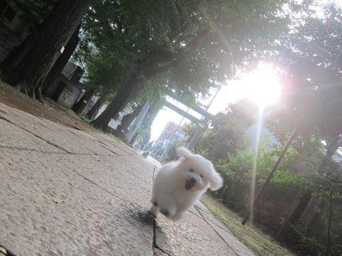 ビションフリーゼこいぬ子犬フントヒュッテ東京かわいいビションフリーゼ関東ビション文京区ビションフリーゼ画像ビションフリーゼ子犬東京ビション毛量 216.jpg