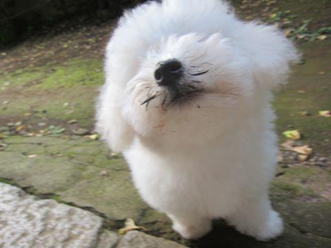 ビションフリーゼこいぬ子犬フントヒュッテ東京かわいいビションフリーゼ関東ビション文京区ビションフリーゼ画像ビションフリーゼ子犬東京ビション毛量 223.jpg