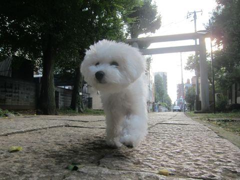 ビションフリーゼこいぬ子犬フントヒュッテ東京かわいいビションフリーゼ関東ビション文京区ビションフリーゼ画像ビションフリーゼおんなのこ姉妹メス子犬_543.jpg
