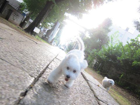 ビションフリーゼこいぬ子犬フントヒュッテ東京かわいいビションフリーゼ関東ビション文京区ビションフリーゼ画像ビションフリーゼおんなのこ姉妹メス子犬_544.jpg